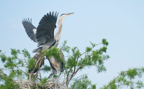 Great Blue Heron Taking Flight photo art print