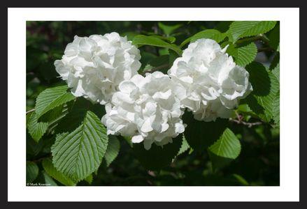 Snow Ball Flowers