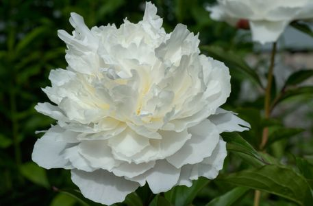 White Peony flower art print