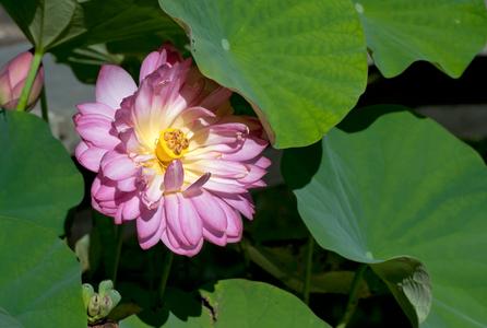 Lotus art print for interior design