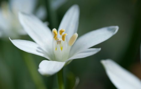Star-of-Bethlehem flower art print for home and office