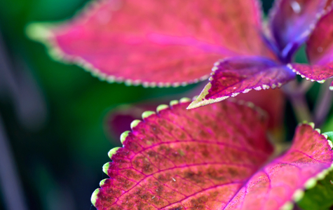 Coleus flower art print for home and office