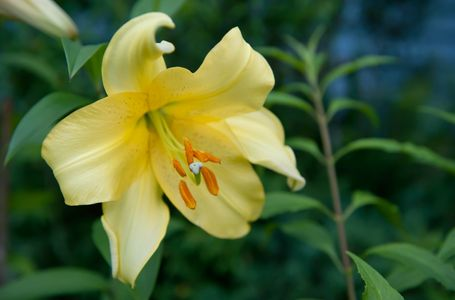 Yellow Lily flower macro art print for interior design