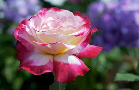 Rose flower photo art print collection