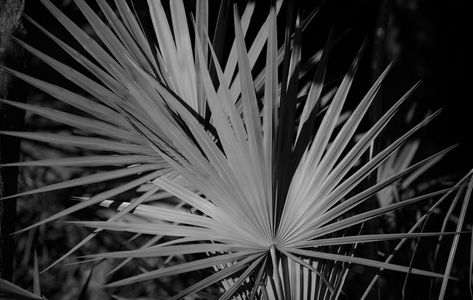 Palmetto art print photography in black & white