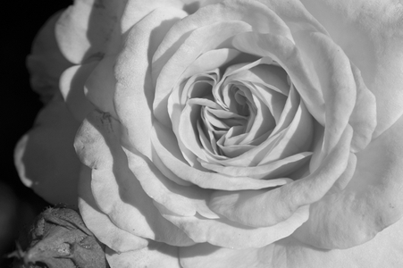 Rose photography black & white Fine Art Print