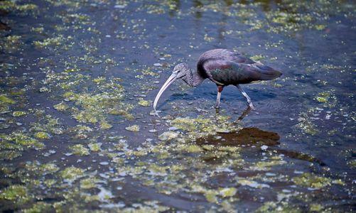 Glossy Ibis at Florida wetlands wildlife art print