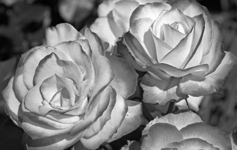 1rose_flower_photo_art_prints