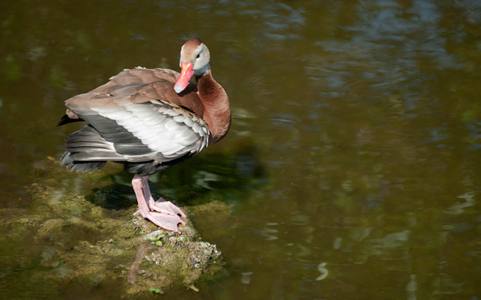 Whistling Duck at wetlands in Florida photo art print