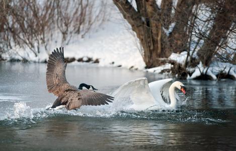 Goose chasing Swan art print