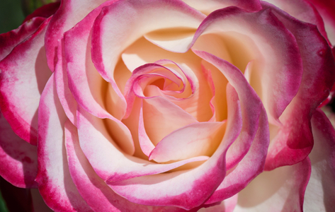 Rose photography flower art print
