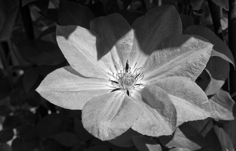 Clematis flower black and white photography art print