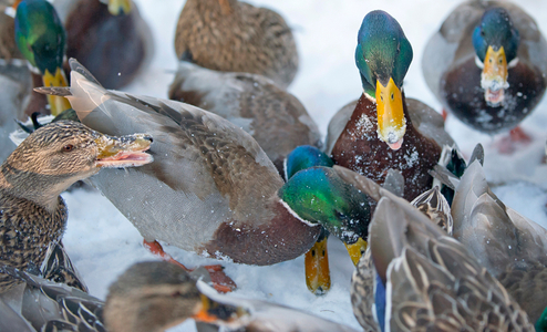 Ducks in the snow willdlife photography art print
