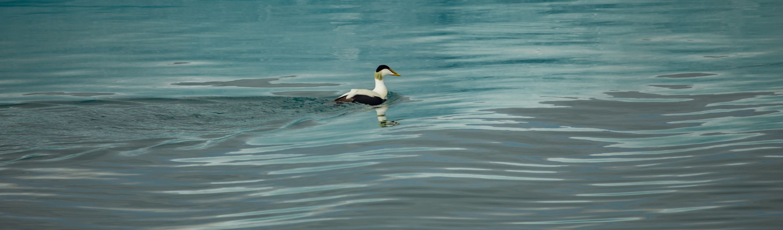 Eider duck at Jokulsarlon