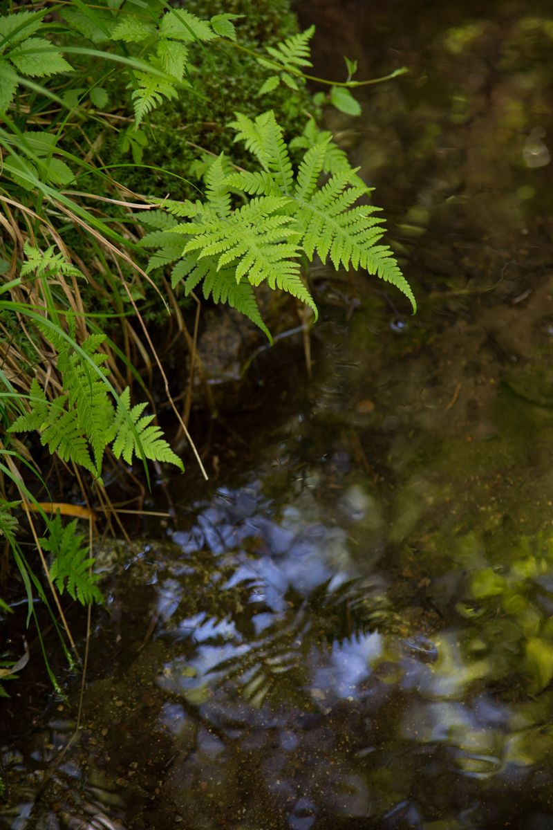 Ferns near Marcy Dam