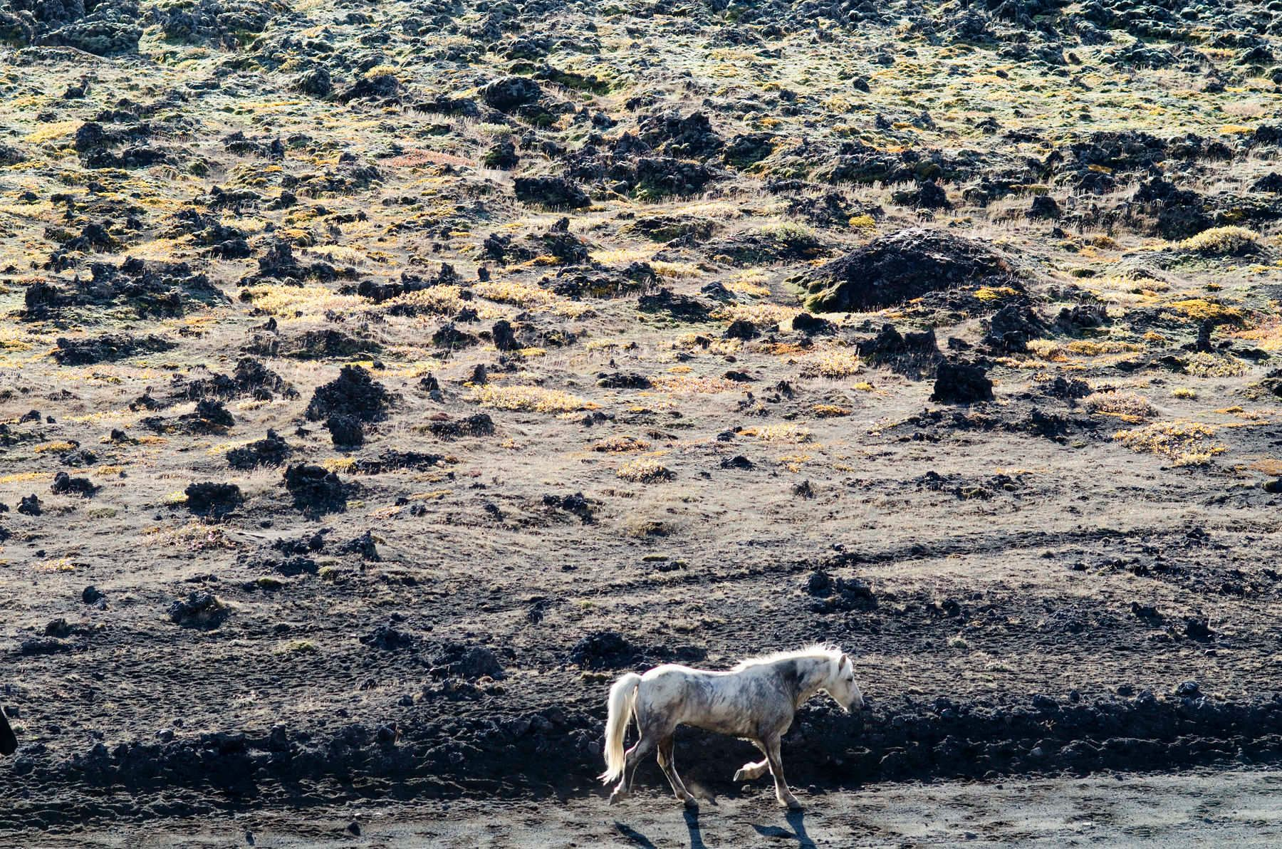 One of the horses being herded through the lava fields near Landmannalaugar in southern Iceland on September 21, 2011.