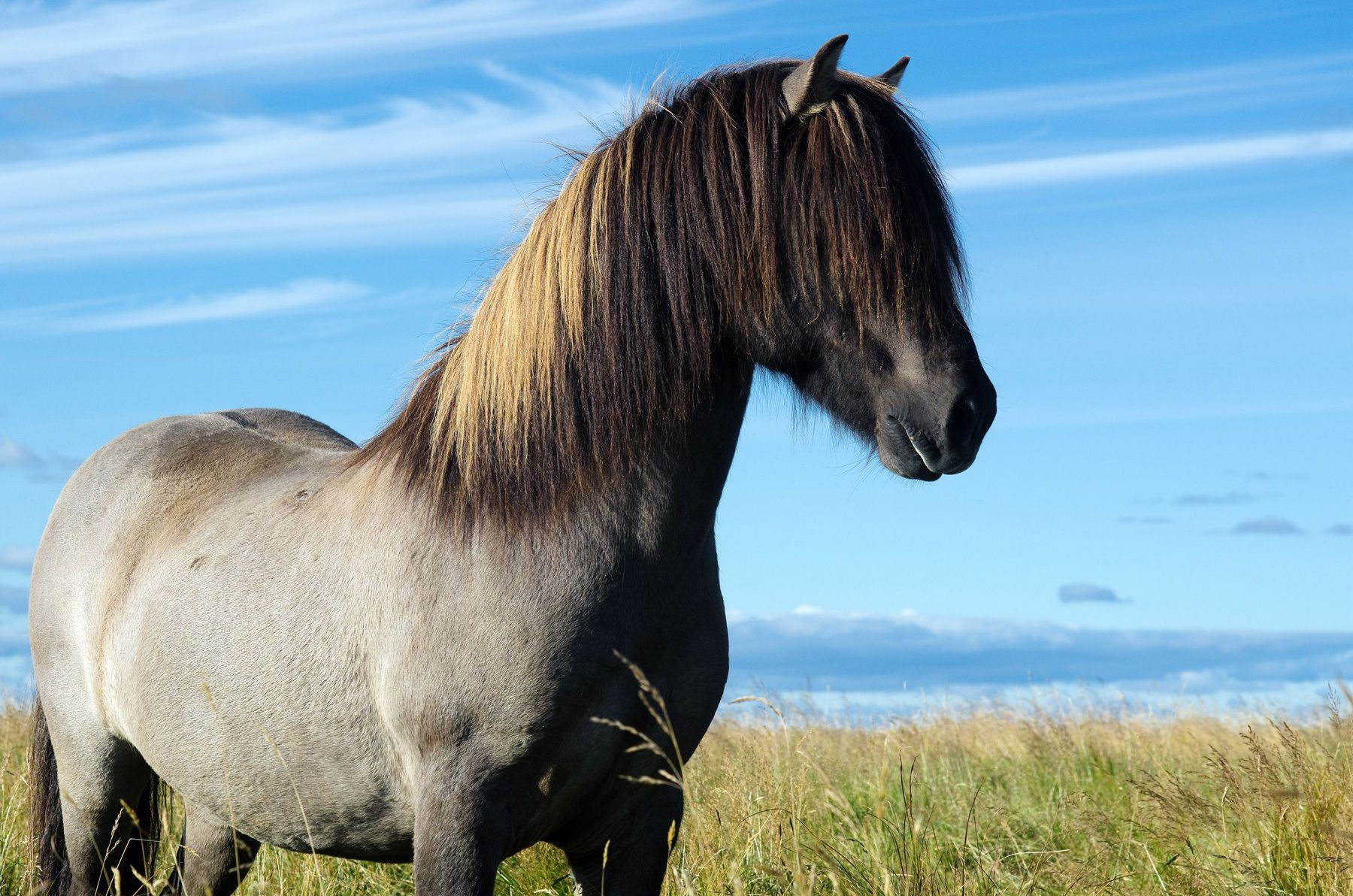 A blue dun (grulla) Icelandic horse outside of Hella, Iceland on September 22nd, 2011.