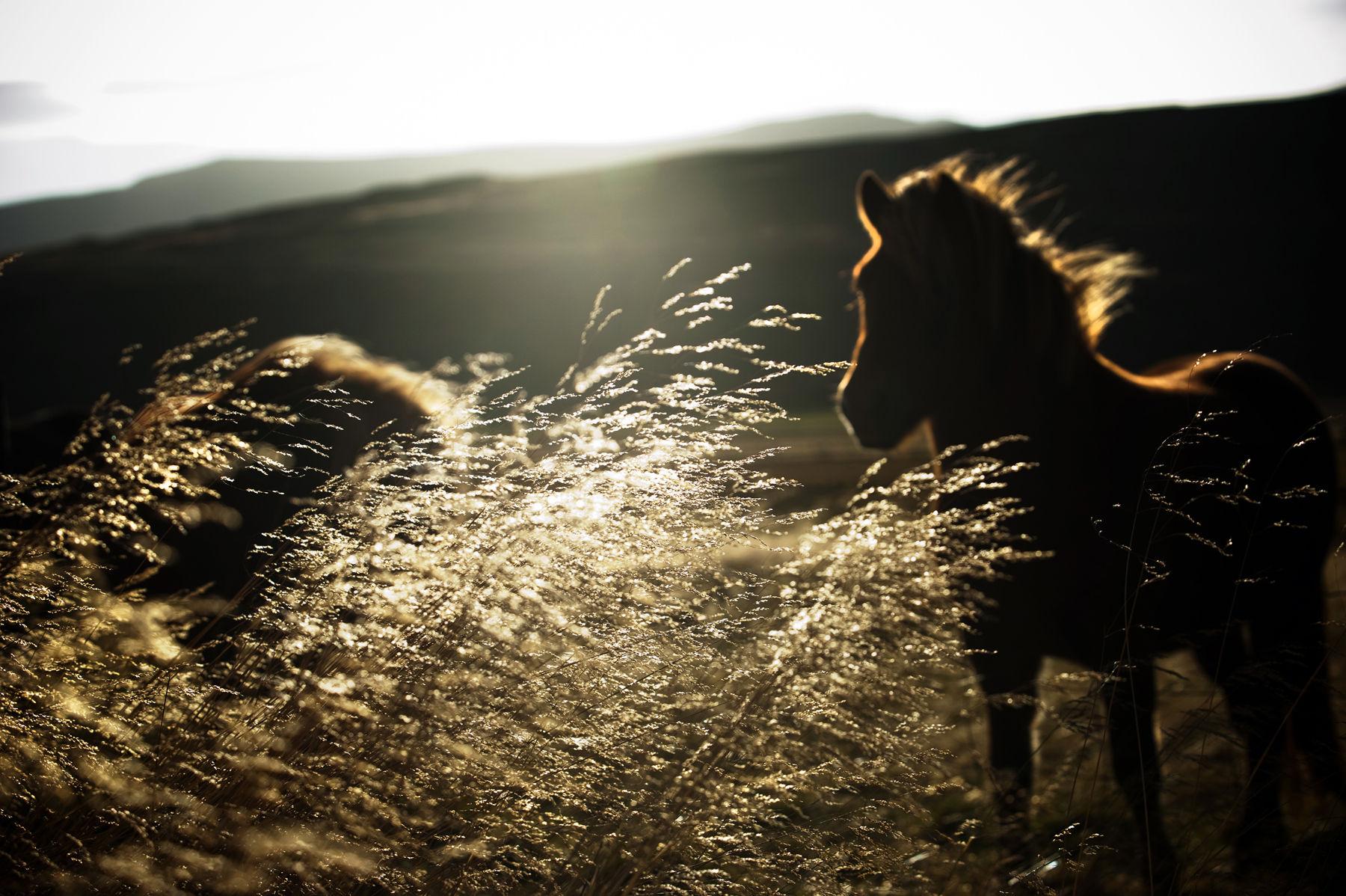 An Icelandic horse in the landscape near Thingeyrar Farm in Iceland on September 27, 2010.