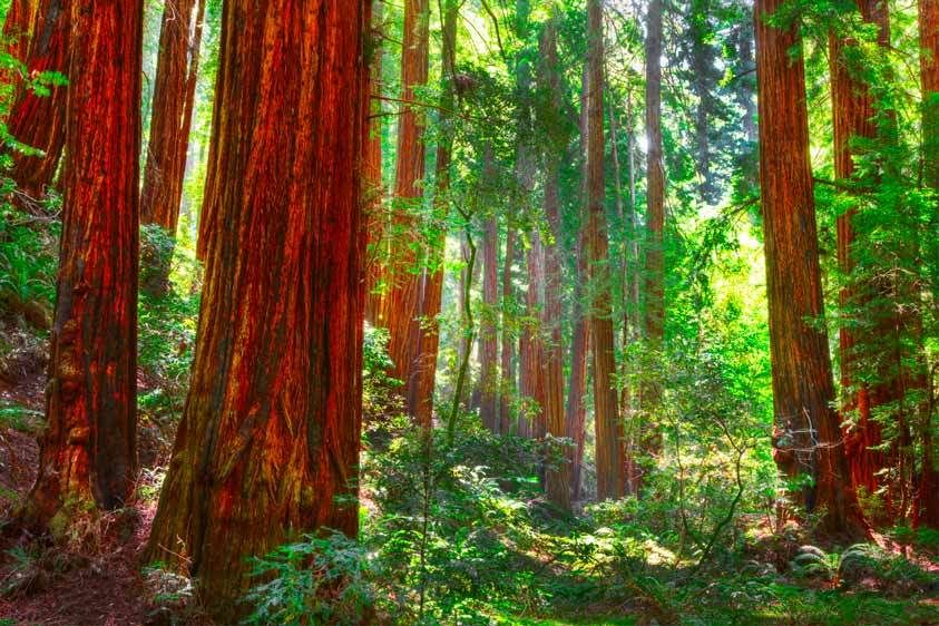 Redwoods, Muir Woods, California