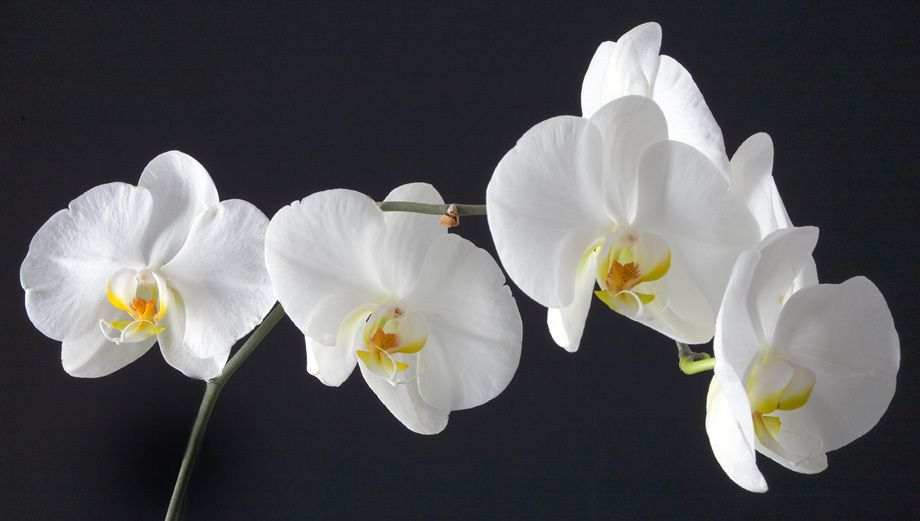 ORCHIDSIMAGE # 11366