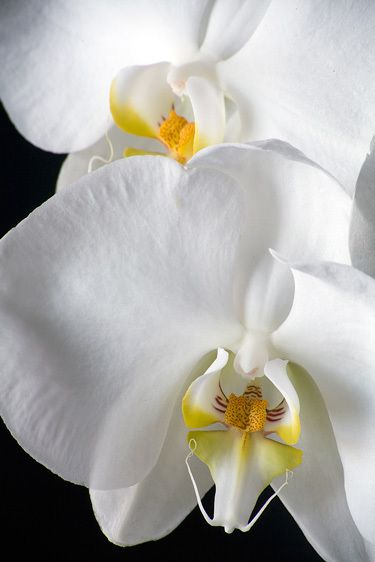 ORCHIDIMAGE # 11577
