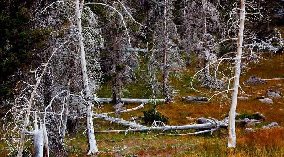 BLEACHED TREES, GEYSER BASINYELLOWSTONE NATIONAL PARK, WYOMINGIMAGE # 11986