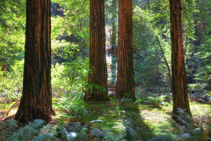 Redwoods, Four, Muir Woods, California