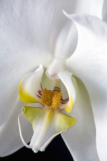 ORCHIDIMAGE # 11364