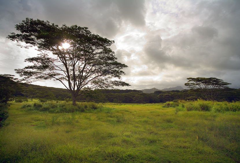 MONKEY POD TREES AT SUNSETKOLOA, KAUAI, HAWAIIIMAGE # 11563