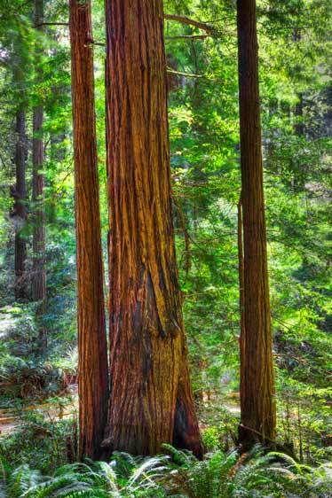 Rewoods, Muir Woods, California