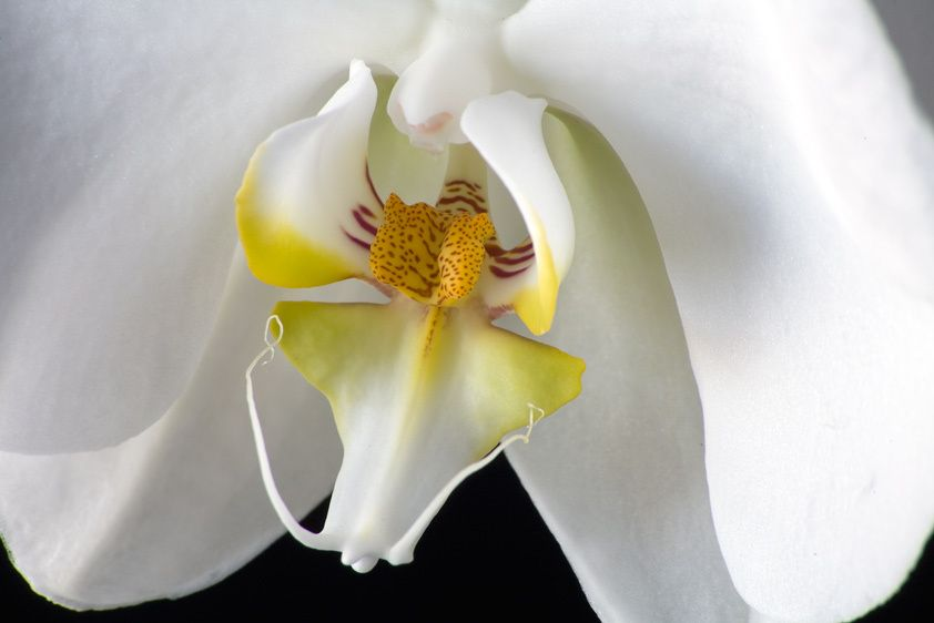ORCHIDIMAGE # 11363