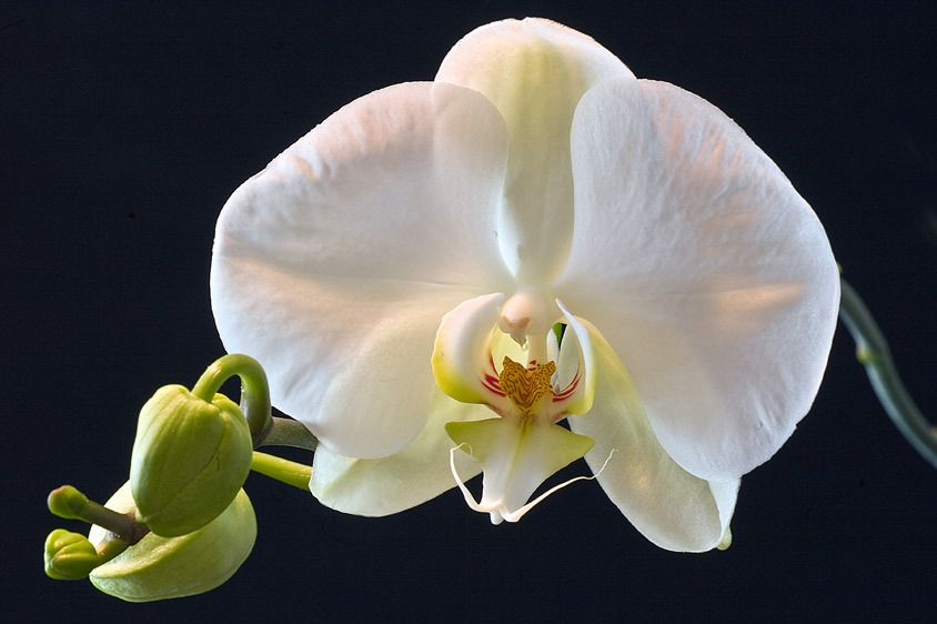 ORCHIDIMAGE # 11429