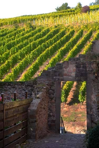 Vineyards, Riquewihr, France