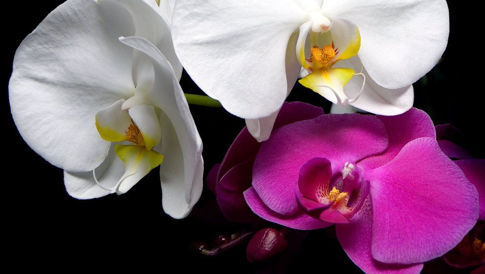ORCHIDSIMAGE # 11580