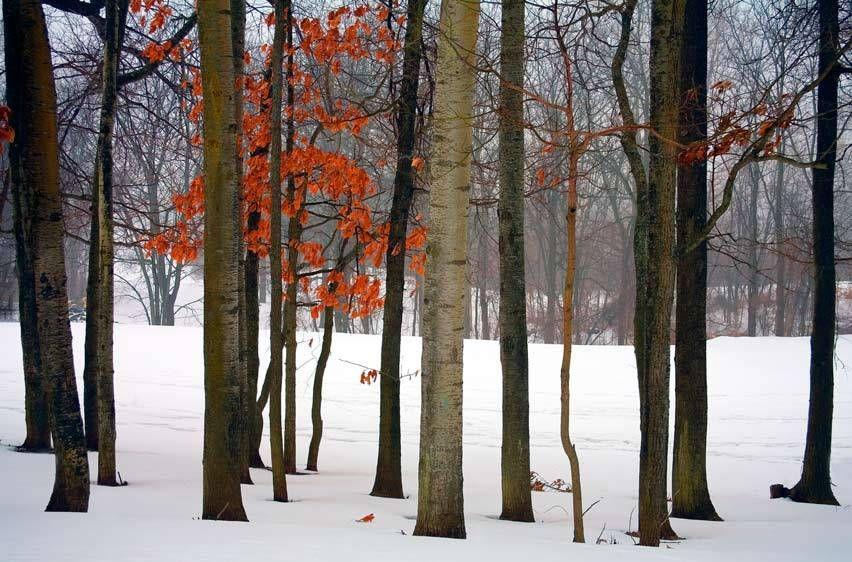 TREES, WINTERMICHIGANIMAGE # 11369