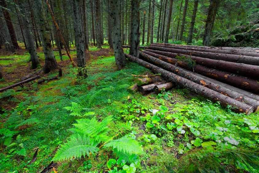 FERNS, LOGS IN THE FORESTGERMANYIMAGE # 11620