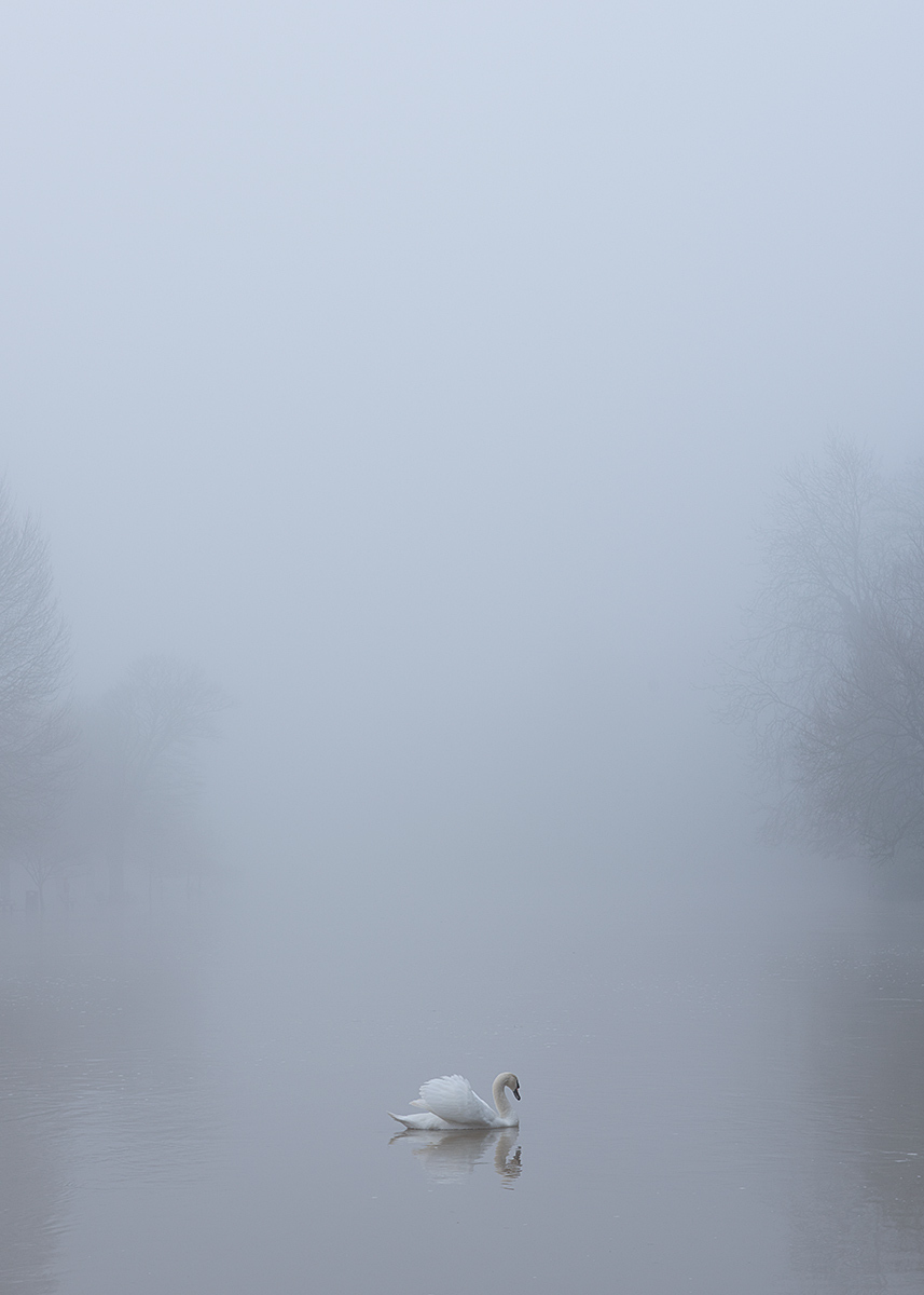 Swan on Avon