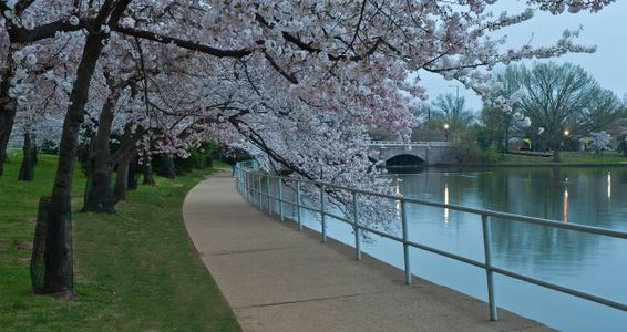 D-12-03-18-8987_88-Cherry-Blossoms-Tidal-Basin).jpg