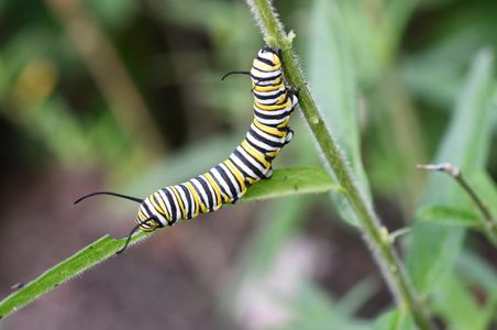 D-17-08-25-1717-(GF-Monarch-caterpillar).jpg