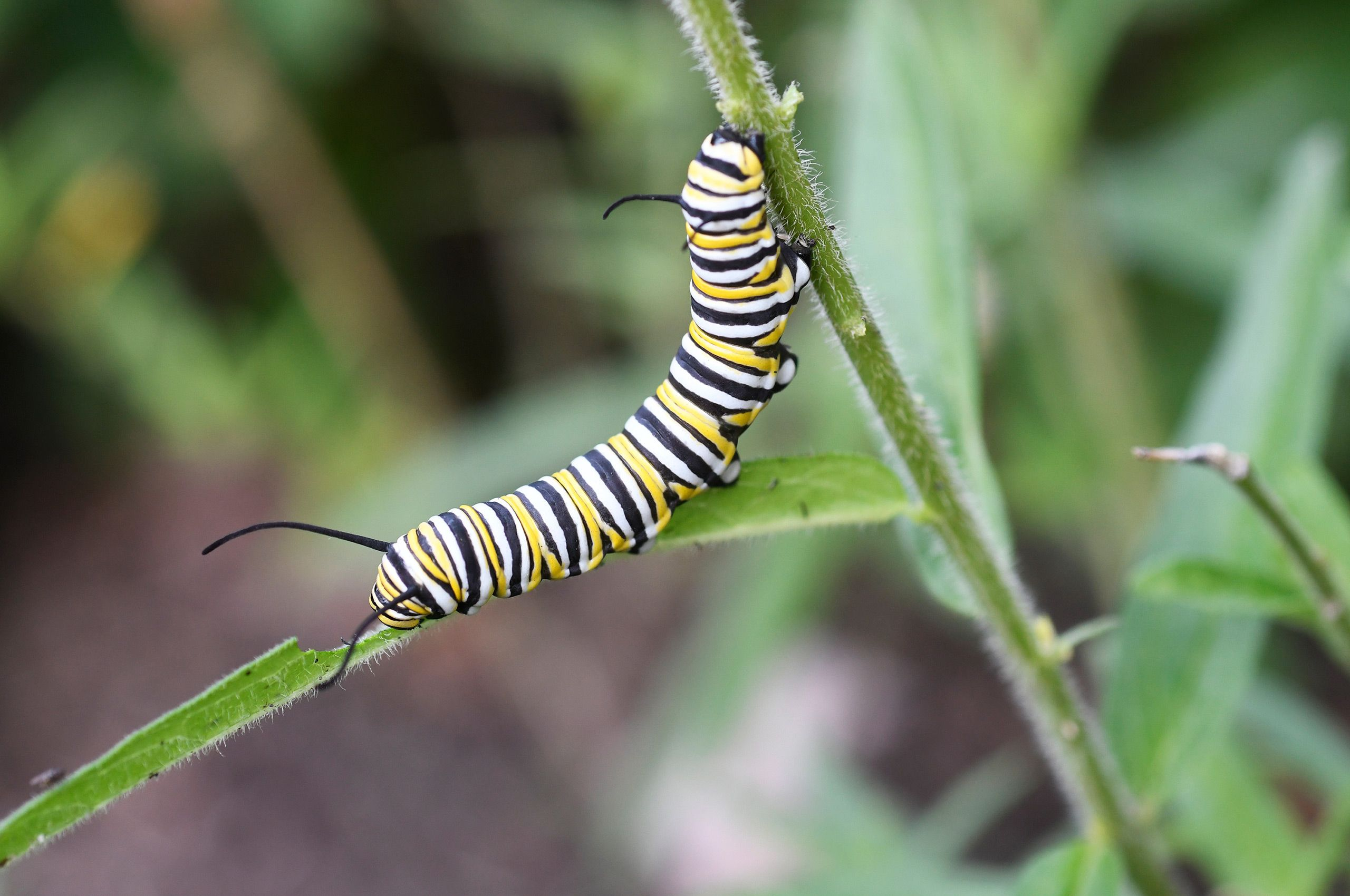 D-17-08-25-1717-(GF-Monarch-caterpillar).jpg