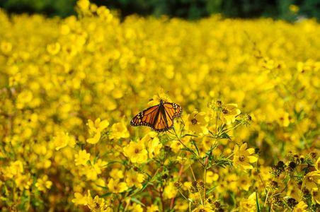 1602-33-(Migrating-Monarch-Lorton-VA).jpg