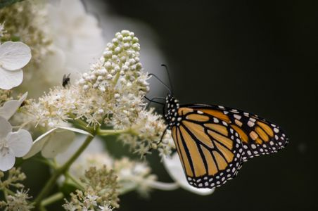 Kent-Migrating-Monarch-Great-Falls.jpg