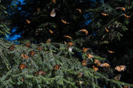 Monarchs-on-Oyamel-Pine-Tree,-Mexico.jpg