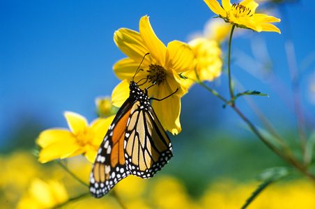 1600-37-(Migrating-Monarch-Washington-DC).jpg