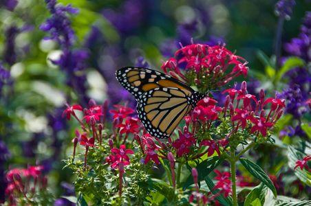 D-10-09-17-0399-(Migrating-Monarch-Kansas).jpg