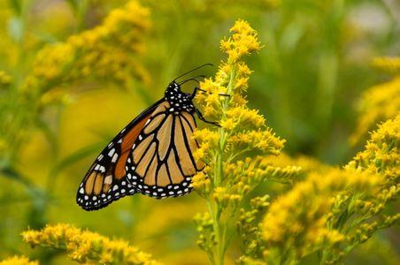 07-08-23-0153-(Migrating-Monarch-Upper-Pennisula-MI).jpg