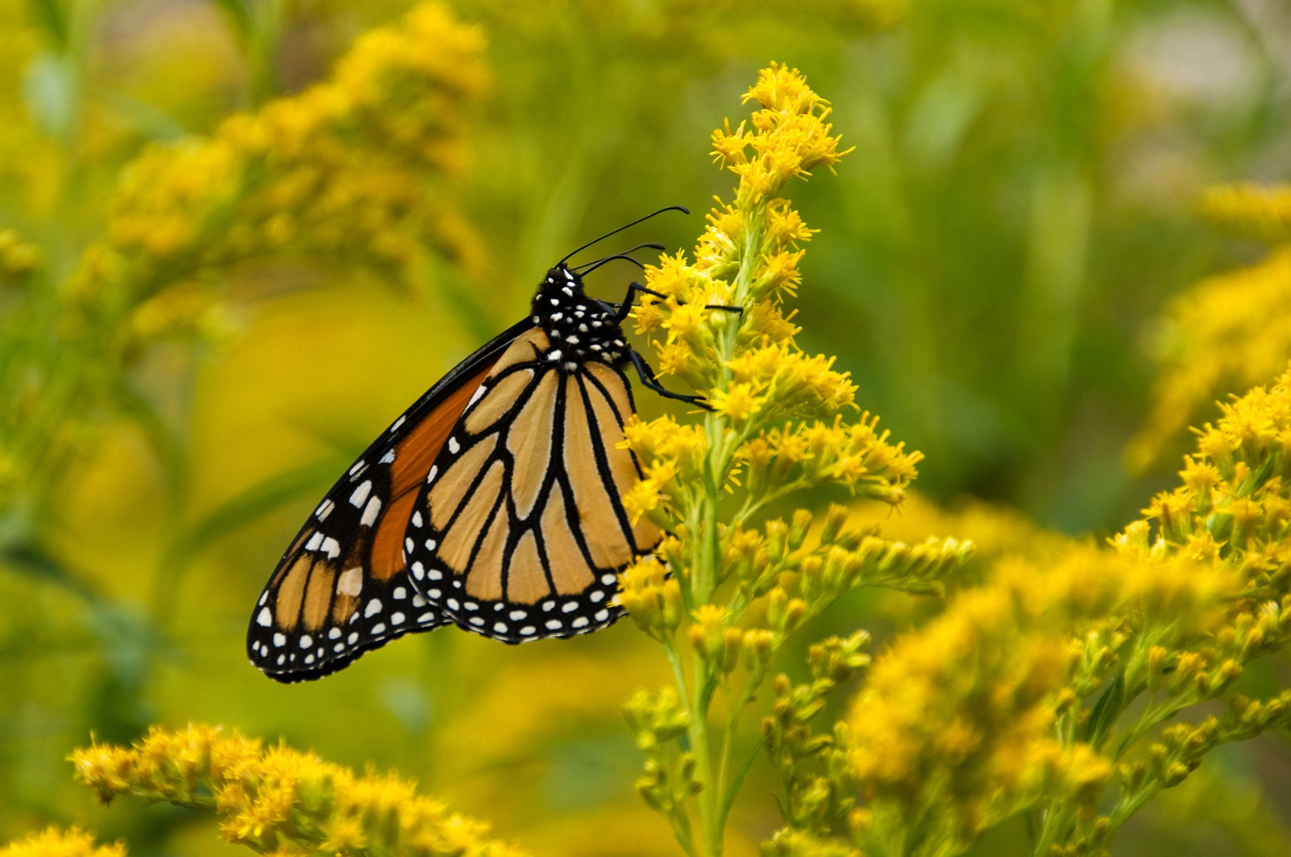 07-08-23-0153-(Migrating-Monarch-Upper-Pennisula-MI).jpg