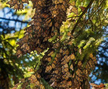 Kent-Roosting-Monarchs-Rosario-Sanctuary.jpg