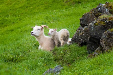 Iceland-14-D-17-06-07-3984-Crop-(sheep).jpg