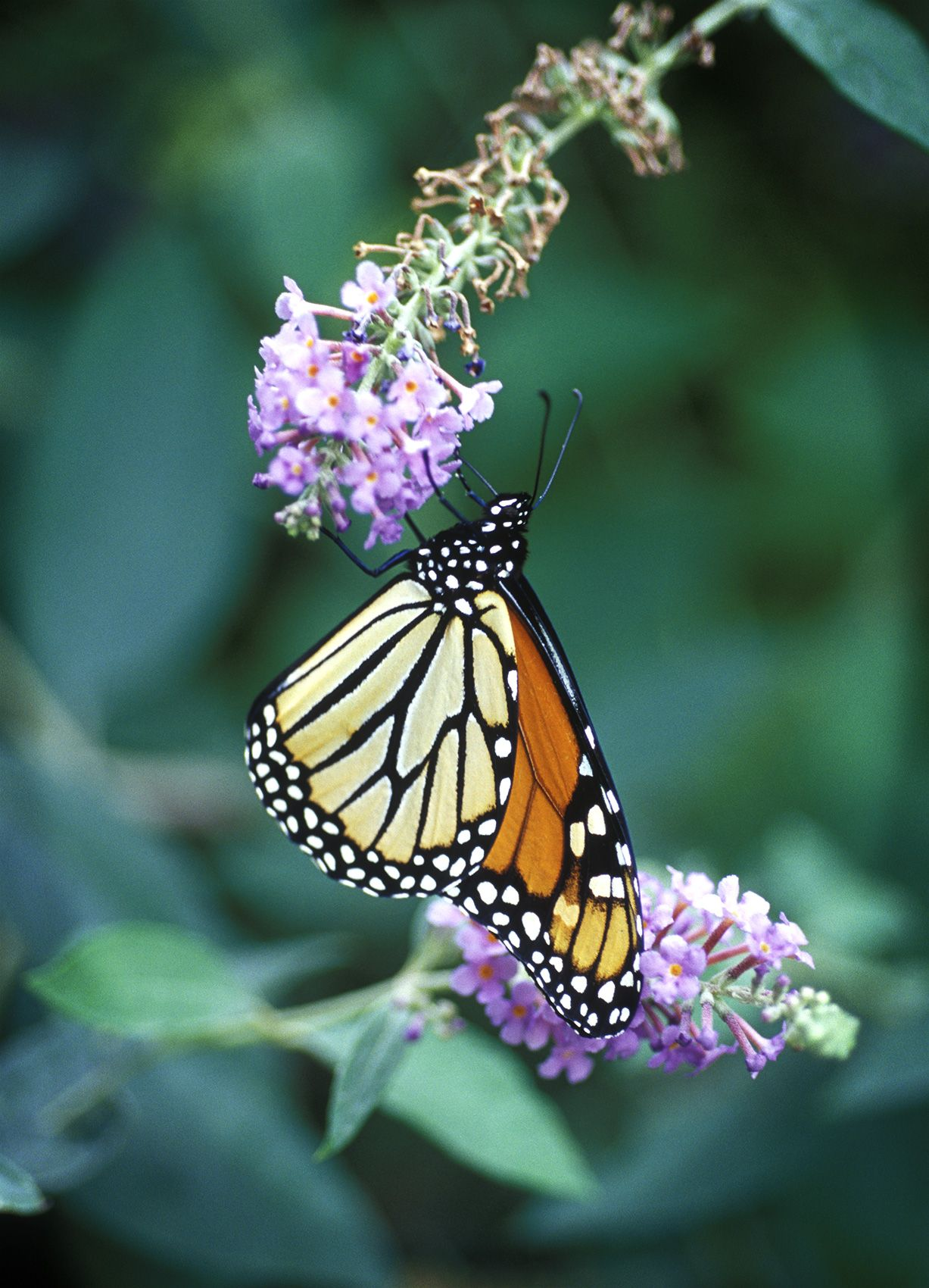1604-24-(Migrating-Monarch-Cape-May).jpg